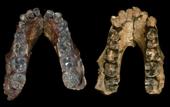 Mandibles of A. anamensis (left) from Kenya and A. afarensis from Ethiopia.